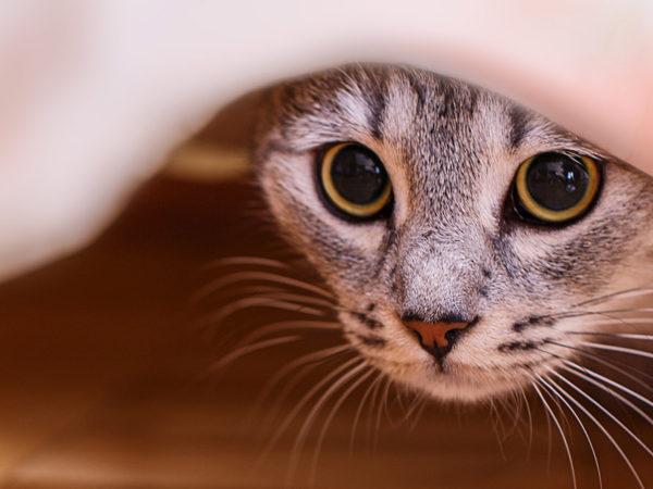 Maladie foudroyante chat